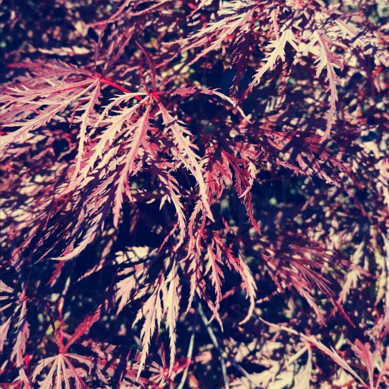 06.12.20 Acer Palmatum